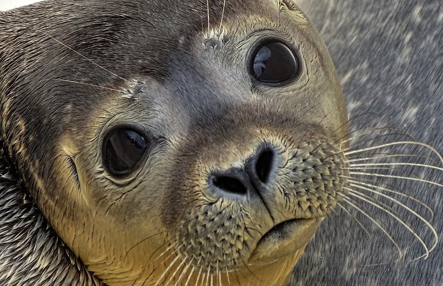В Приморье детеныш тюленя погиб из-за активного внимания людей