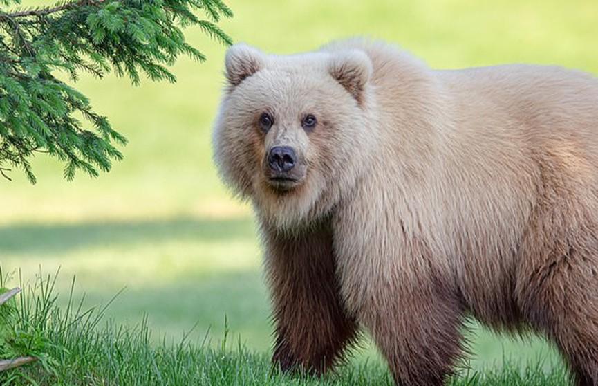 Бурого медведя-«блондина» обнаружили в США