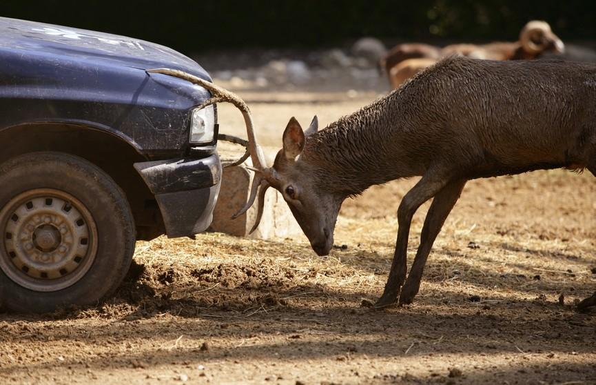 ДТП с животными: что необходимо делать в таких случаях и как безопасно себя вести?