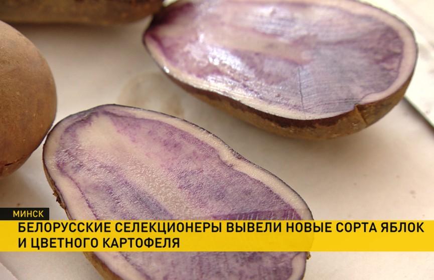 Картофель с красной и фиолетовой мякотью вывели белорусские учёные