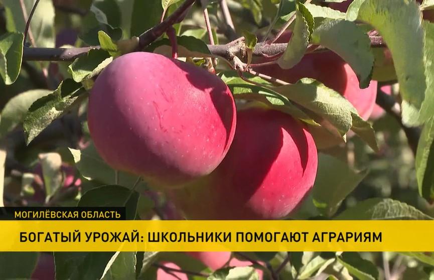 Школьники помогают аграриям собирать богатый урожай яблок в Белыничском районе
