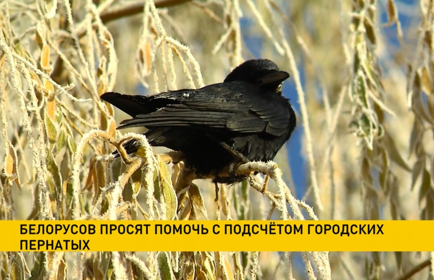 Белорусов просят помочь с подсчетом городских птиц