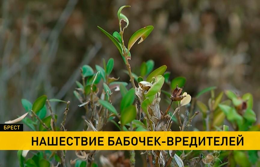 В Бресте – нашествие бабочек-вредителей. Чем это грозит и как с ними бороться?