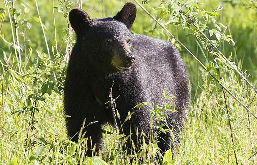 Медведь спас заблудившегося мальчика в США
