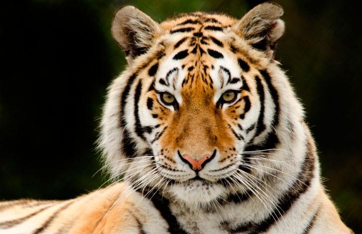Десять тигров застряли на польско-белорусской границе: одно животное погибло от истощения