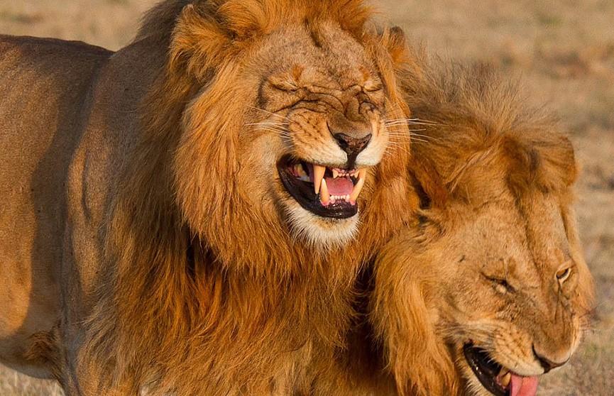 Ревущие от смеха львы покорили пользователей Интернета