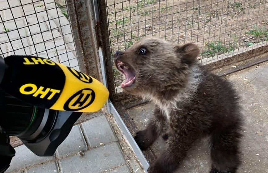 Крошечный медвежонок найден в лесу под Логойском