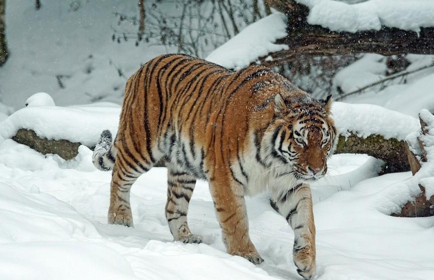 В Приморье тигр «помог» охотнадзору поймать браконьеров