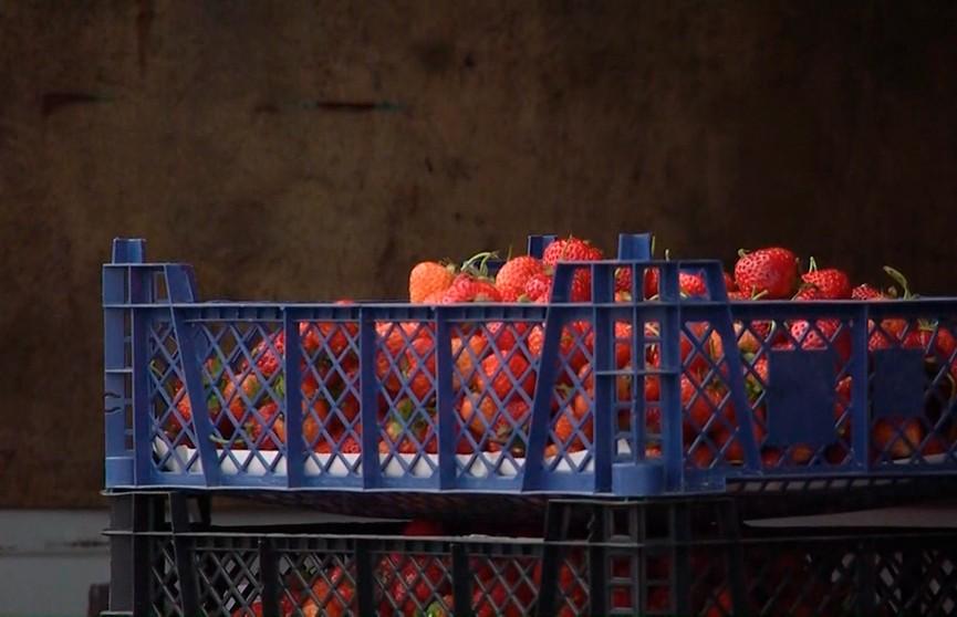 Небывалый урожай клубники собирают в этом году в Беларуси