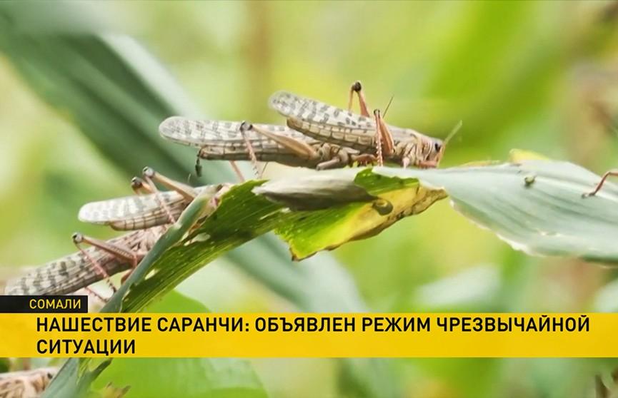 В Сомали саранча уничтожила уже больше 70 тысяч гектаров урожая