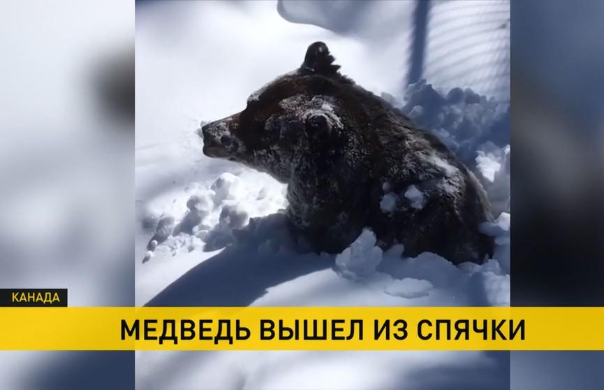 Проснулся и откопал себя из снега – смотрите, как гризли выходит из спячки (ВИДЕО)