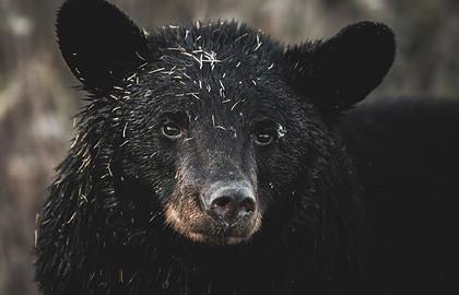 Спрятавшийся под сиденьем уличного туалета медведь напугал женщину, которая решила уединиться