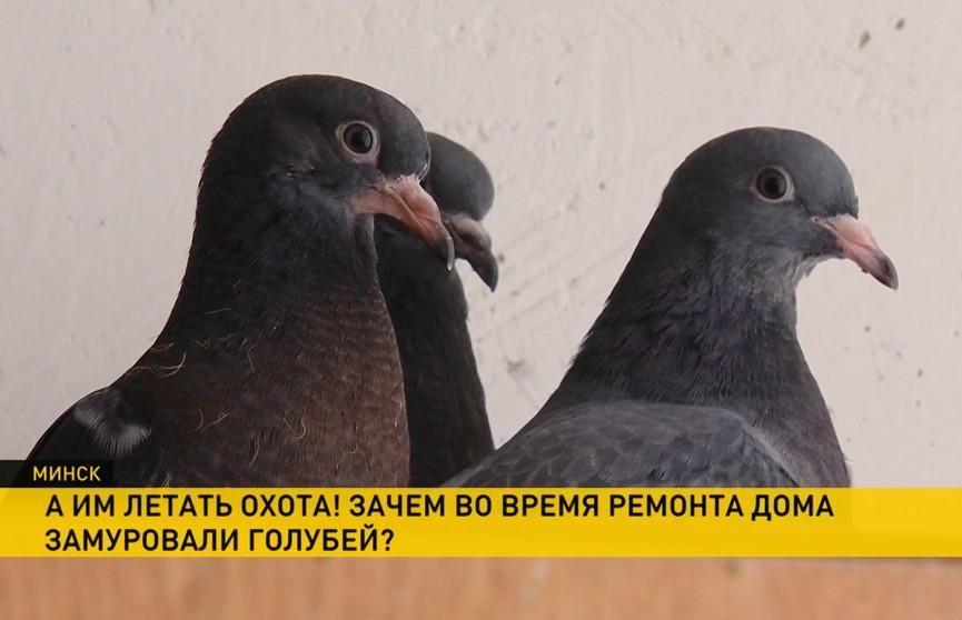 Во время ремонта дома в Минске замуровали голубей. Зоозащитники возмущены
