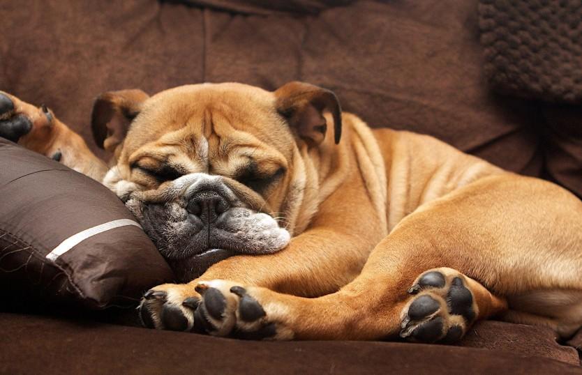 Заставил Сеть смеяться в голос: пес забавно бормотал во сне. Только послушайте