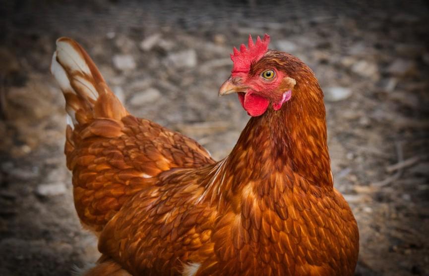 «Так эпично, я аж слезу пустила»: курица смогла улететь из курятника и стала звездой TikTok