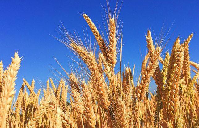 Белорусские аграрии планируют собрать 7,6 миллионов тонн зерна в этом году