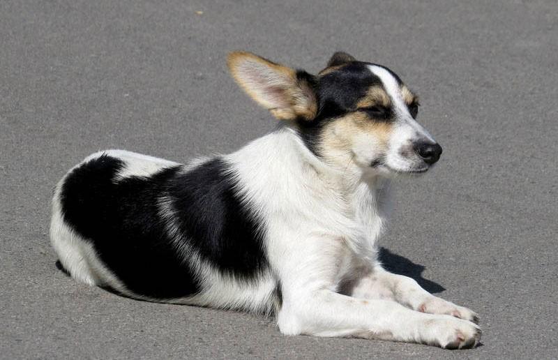 Бездомная собака знает ПДД и помогает детям переходить дорогу (ВИДЕО)