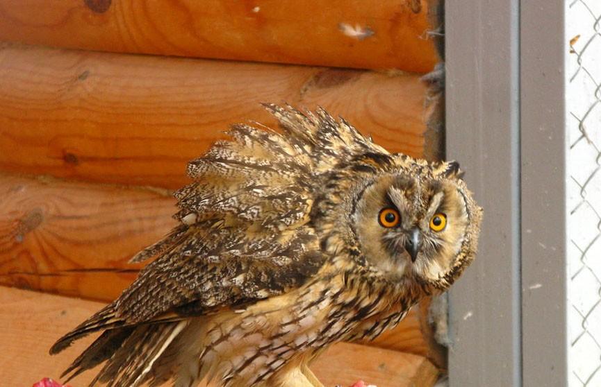Курьезная ситуация в США: живая сова попала в дом вместе с ёлкой