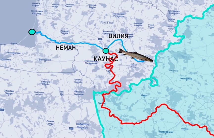 Нерест лосося можно наблюдать на белорусских реках благодаря усилиям волонтеров