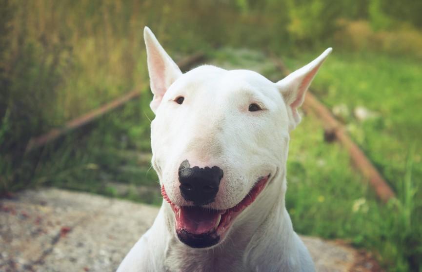 Хозяин поцеловал бультерьера – реакция собаки растрогала всех! (ВИДЕО)