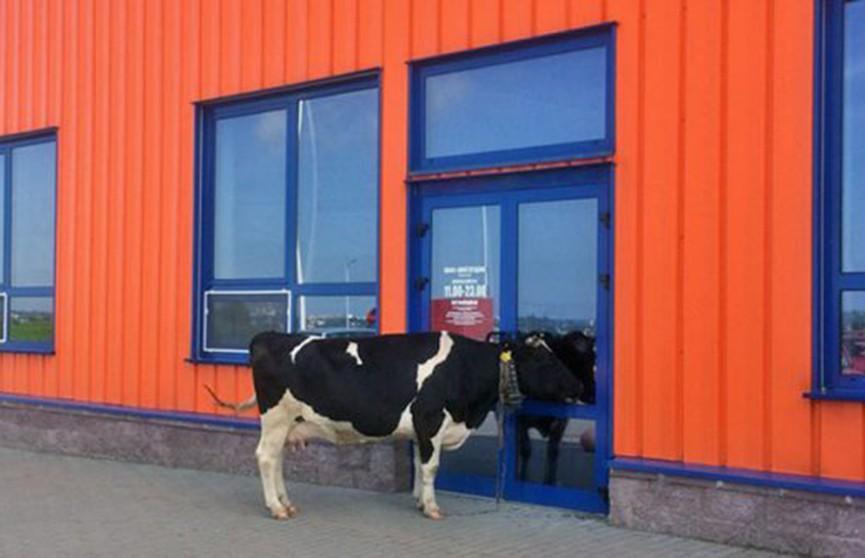 Корова пришла к гипермаркету в Витебске