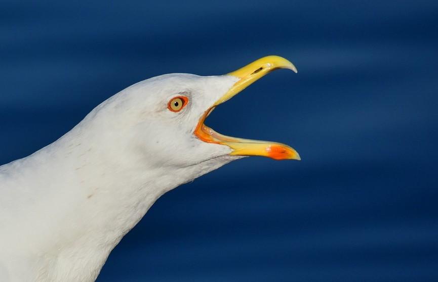 В Англии чайка ограбила супермаркет и попала на видео