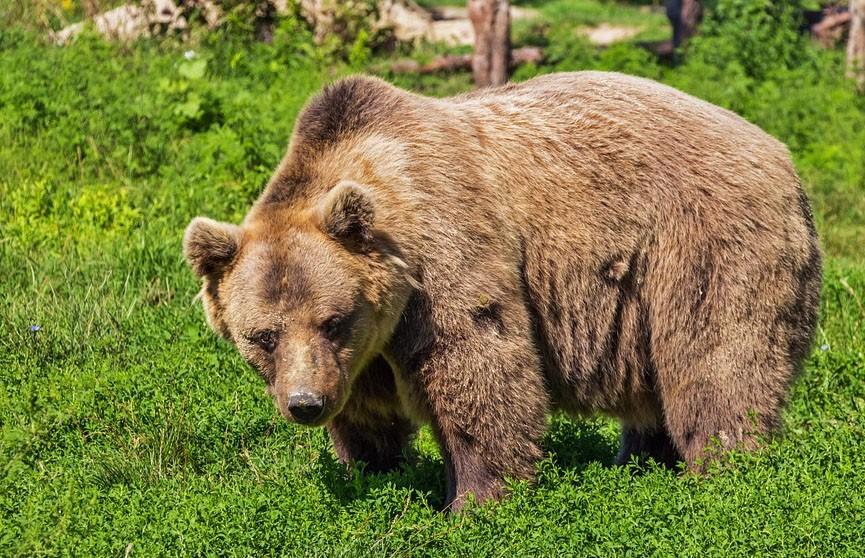 Бурый медведь напал на группу морских охотников в России