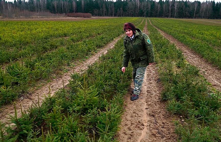 Елочный детский сад:  как и где в Беларуси выращивают новогодние деревья