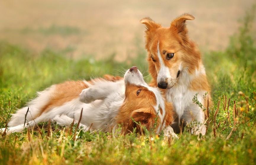 Собака дает пощечины брату, чтобы он обратил на нее внимание, но пес не преклонен! Посмотрите, какие у него железные нервы! (ВИДЕО)