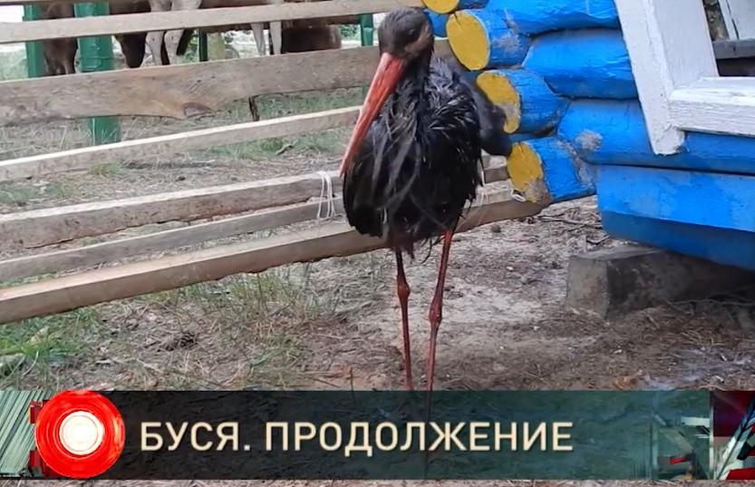 Чёрный-чёрный аист. Продолжение истории редкой птицы, попавшей в беду