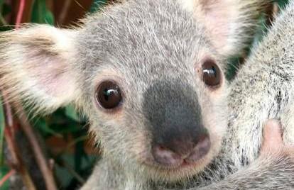 Австралийцы выбрали самую милую коалу (ВИДЕО)