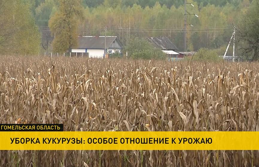 Урожай-2020: кукуруза убрана с 70% площадей