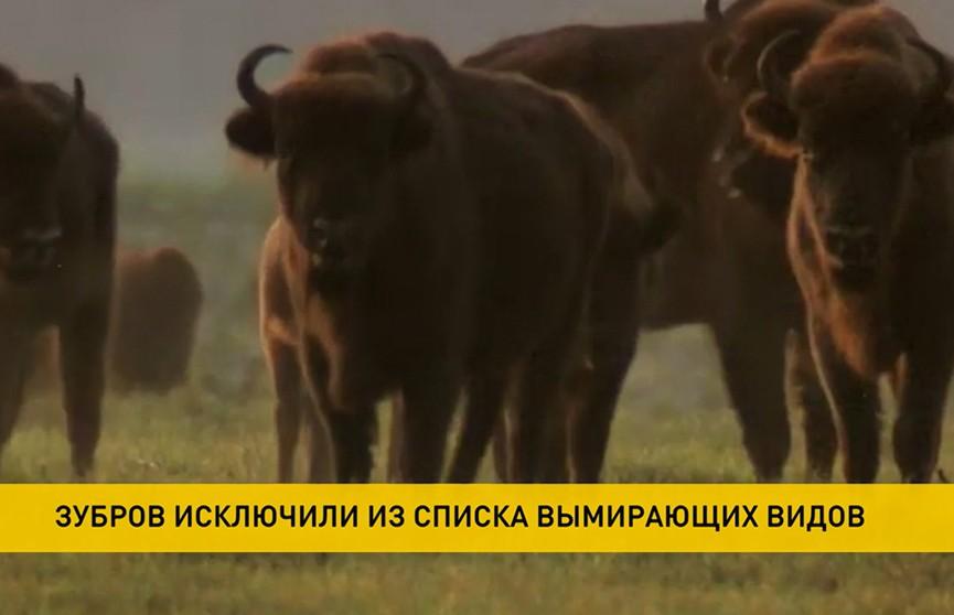 Зубров исключили из списка вымирающих видов