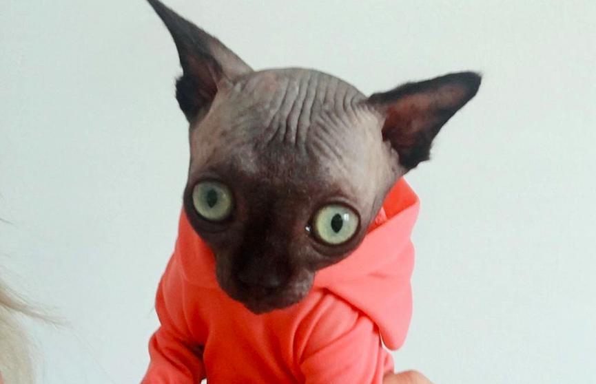 Кошка-«летучая мышь» с большими глазами стала звездой Instagram