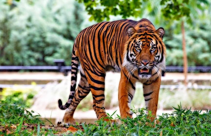 Тигр насмерть травмировал сотрудницу зоопарка в Цюрихе