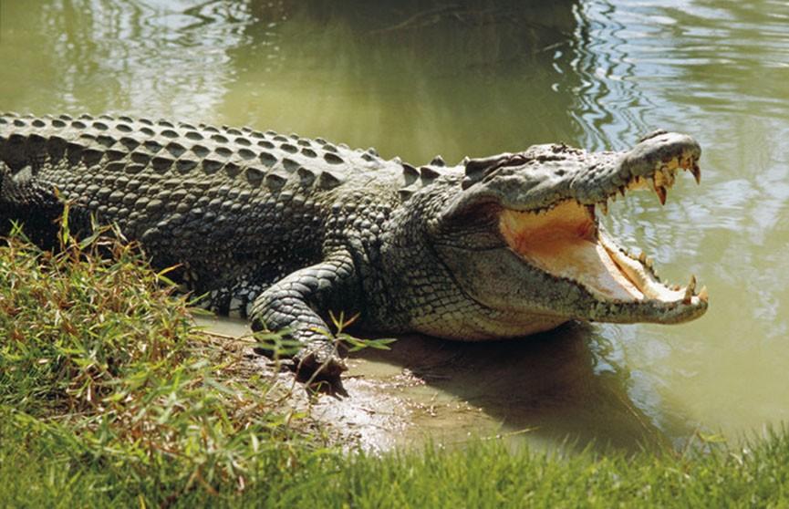 Рыбаки из Австралии чуть не стали добычей крокодила (Видео)