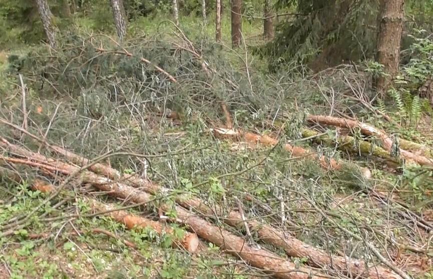 Лесоруб-нелегал спилил 242 дерева в Столбцовском районе