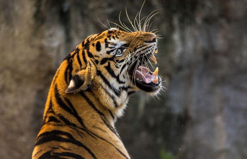 Грибника съел тигр в Индии