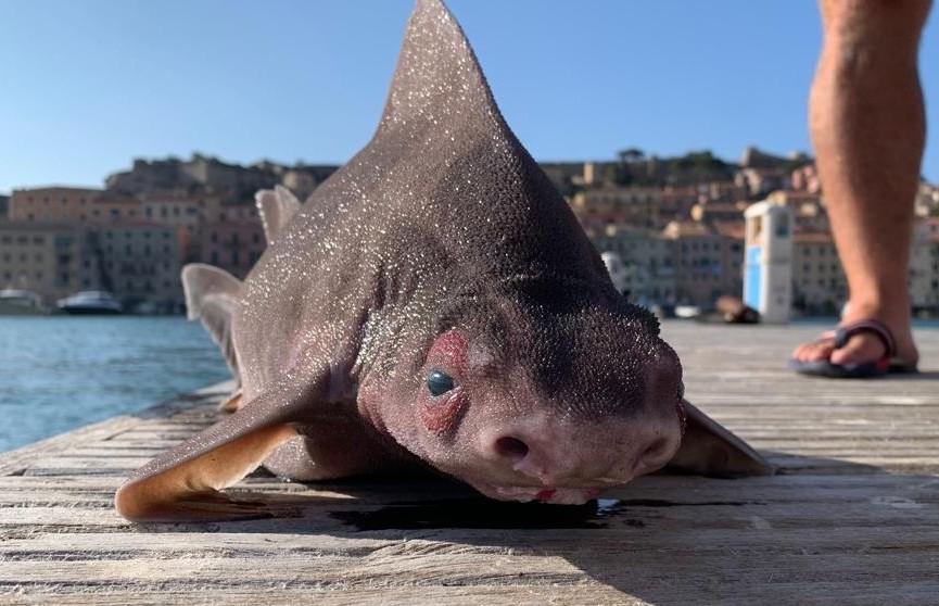 Акулу с мордой свиньи поймали в Италии