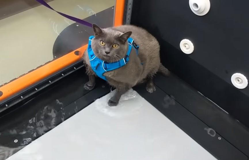 Очень толстую кошку Шлакоблок заставили заниматься на беговой дорожке. Ей это очень, очень не нравится