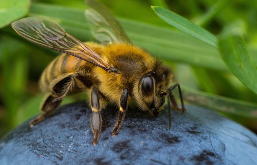 Пчелиный рой чуть не сорвал футбольный матч в Бразилии (ВИДЕО)