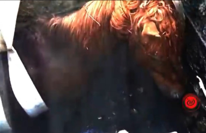 «У нас ЧП в колхозе. Конь в колодец ввалился». Лошадка Орлик упала в закрытый пожарный водоём (ВИДЕО)