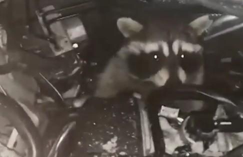В Домодедово из-под капота автомобиля достали живого енота (ВИДЕО)