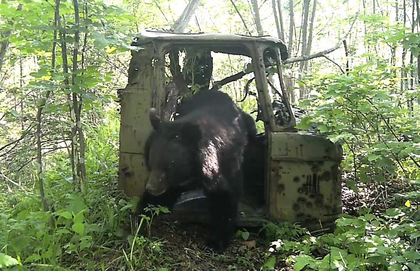 Гималайский медведь облюбовал кабину старого грузовика (ВИДЕО)