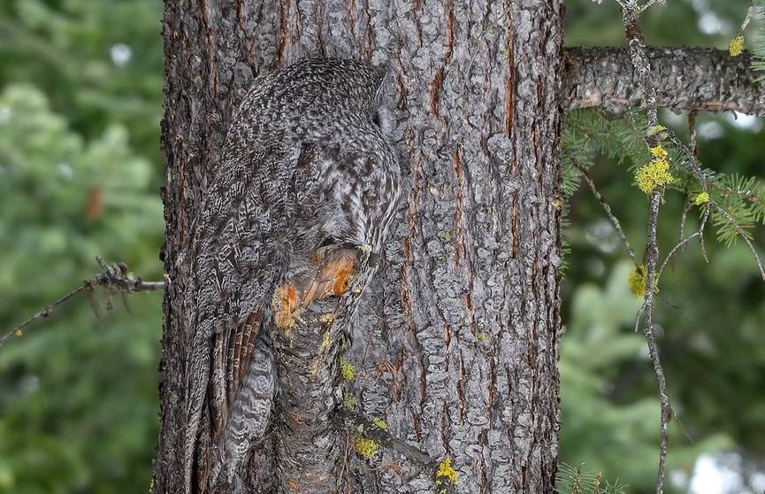 Гений маскировки! Фотограф запечатлел «невидимую» сову – попробуйте найти ее на снимке