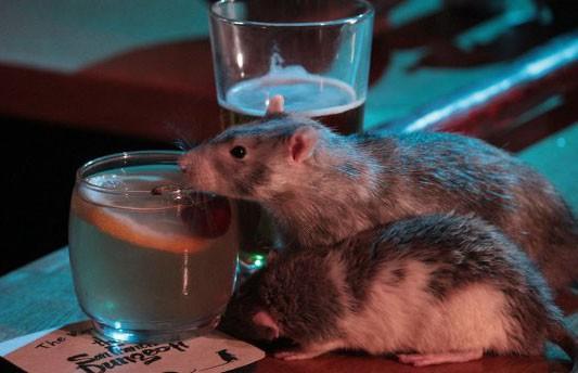 Бар с крысами? В Сан-Франциско открылось необычное заведение