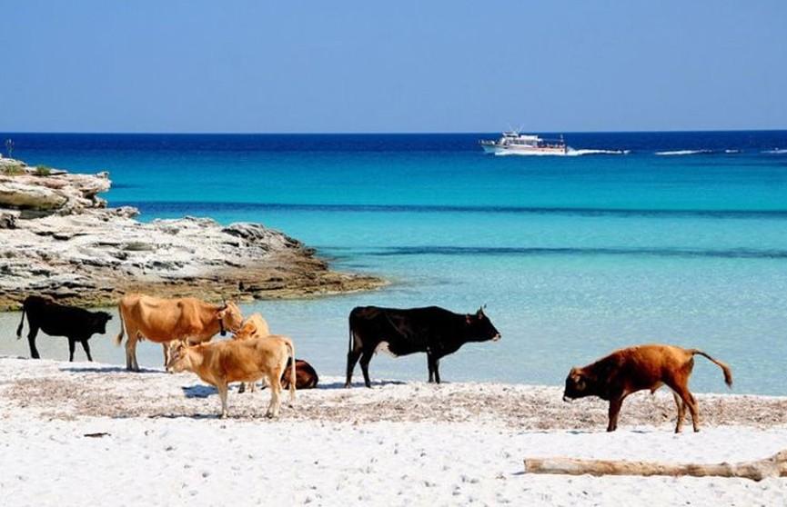 Агрессивные коровы оккупировали пляжи и начали нападать на людей