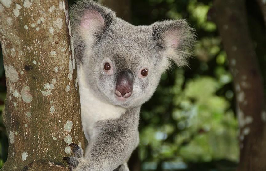 Спасенных от лесных пожаров коал в Австралии начали выпускать на волю