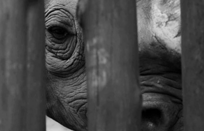 Умер последний в Малайзии суматранский носорог