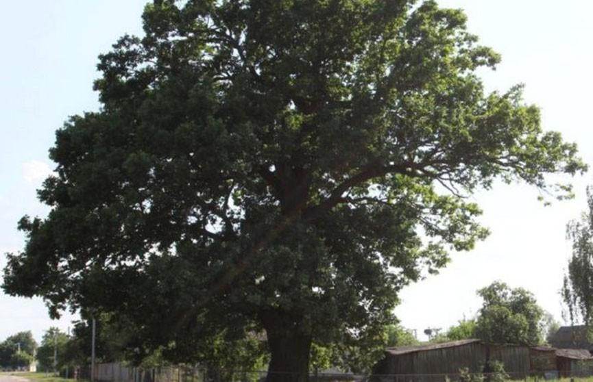 Вековой дуб в Лельчицком районе признан памятником природы